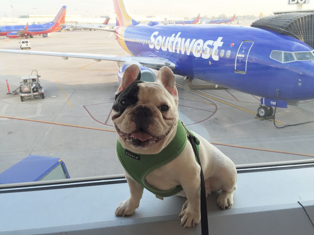 Manny the Frenchie loves to fly Southwest Airlines