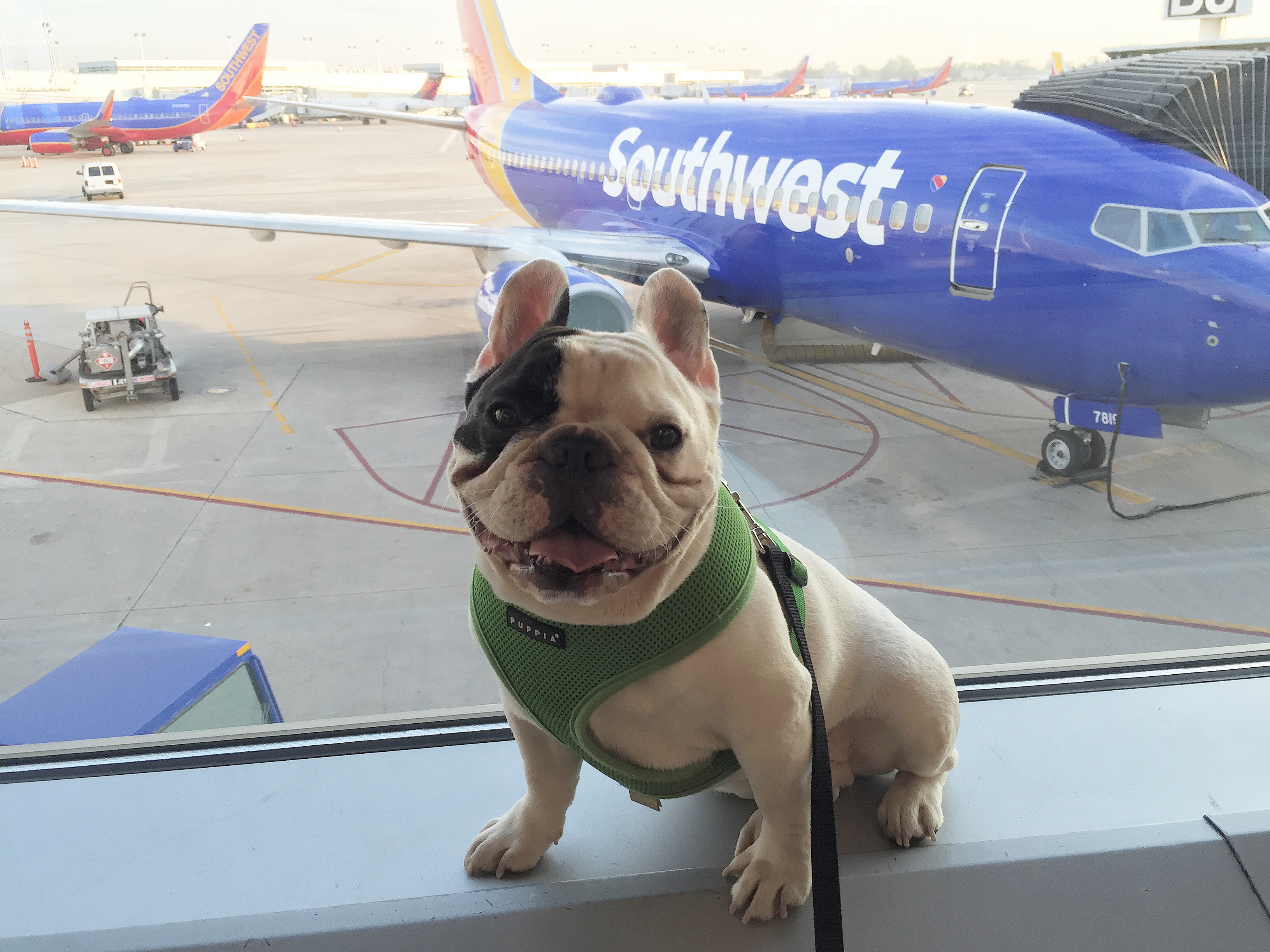 Giving our furry friends the vip very important p for Best airline to fly dogs