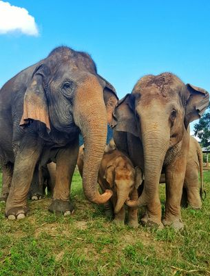 More than 70 elephants call the Elephant Nature Park home.