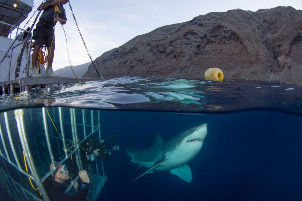 Great_White_Shark_15138.jpg