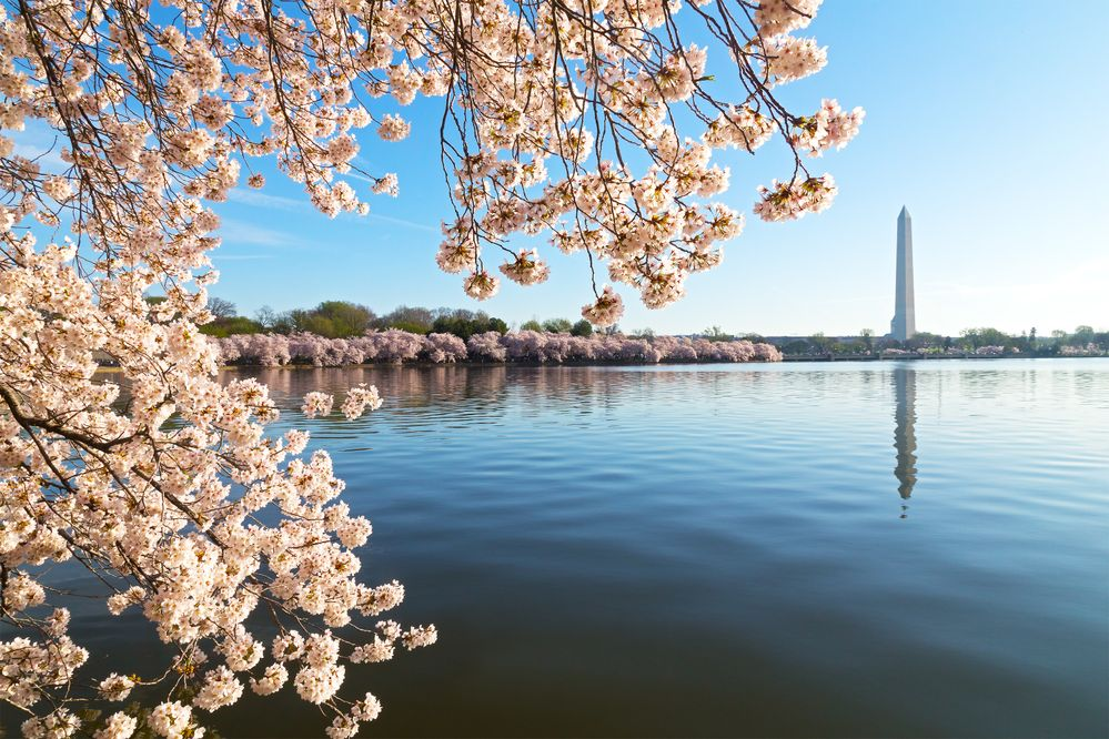 Tidal Basin Cheery Blossoms.jpg
